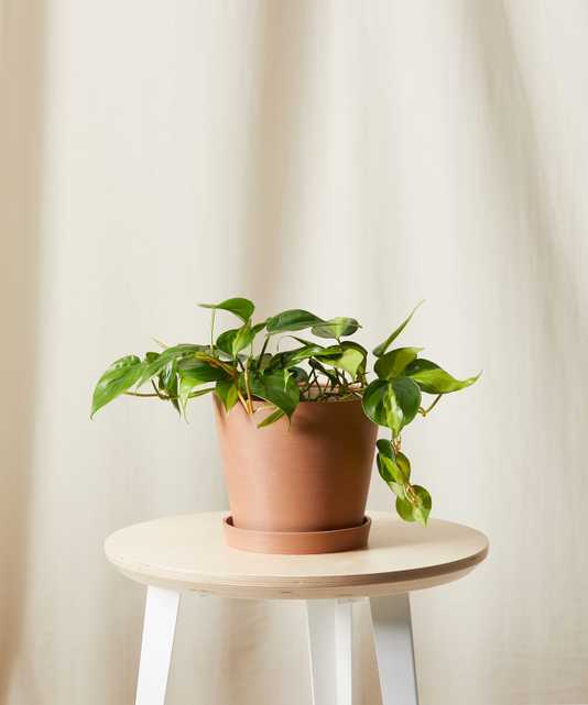 Philodendron Brasil -  Clay - Bloomscape