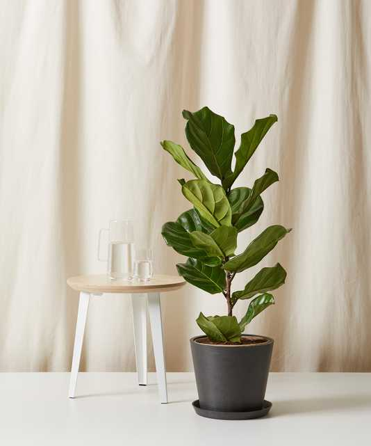 Fiddle Leaf Fig Column -  Charcoal - Bloomscape