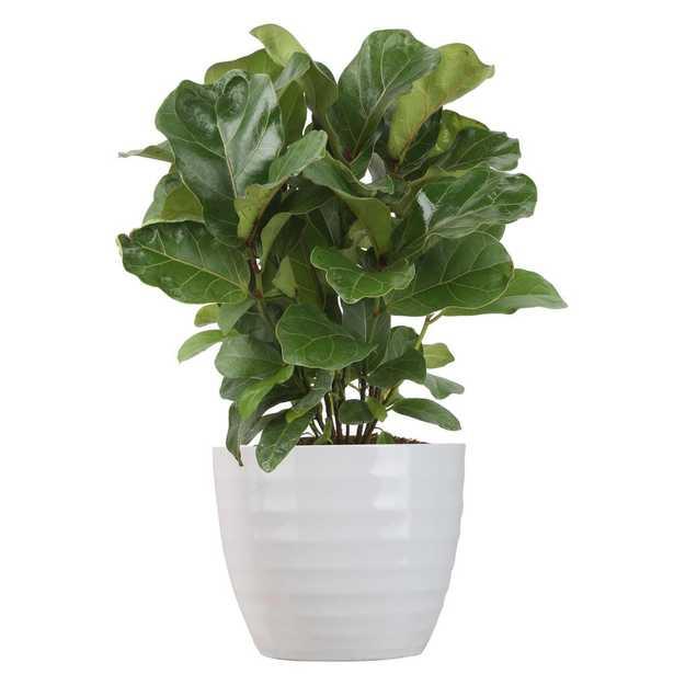 Costa Farms Trending Tropicals Little Fiddle Leaf Ficus Lyrata Plant in 6 in. Ceramic - Home Depot