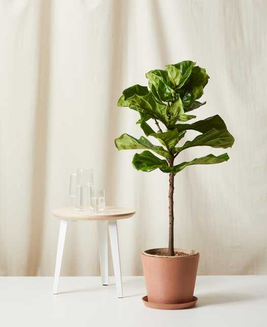 Fiddle Leaf Fig -  Clay - Bloomscape