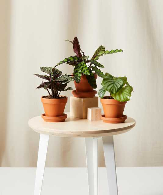 Calathea Collection -  Terracotta - Bloomscape