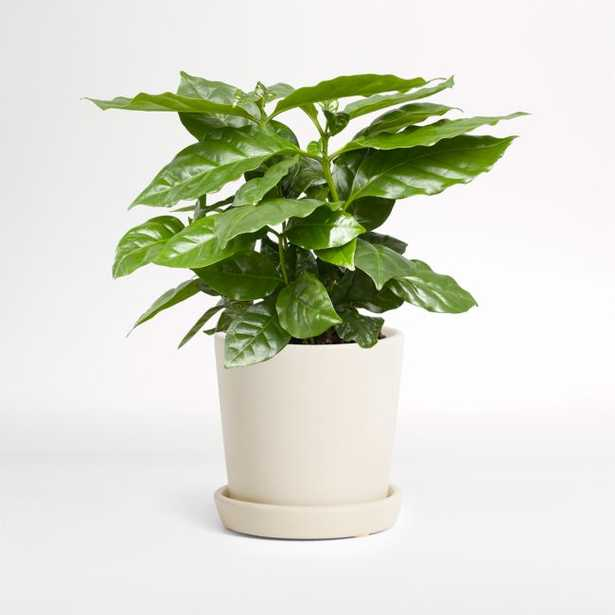 Live Coffee Plant in Bryant Planter by The Sill - Crate and Barrel
