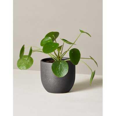 12'' Live Pilea Plant in Pot - Wayfair