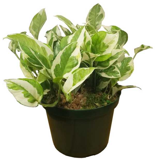 EVERGRACE Pearl and Jade Pothos Plant in 6 in. Grower Pot - Home Depot