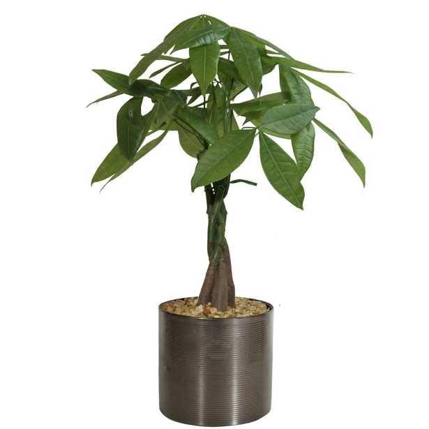 Costa Farms 20'' Live Plant Money Tree in Planter - Perigold