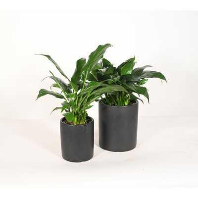 Live Plant Peace Lily With Ceramic Planter Pots 5'' Sky Blue/6'' White - Wayfair