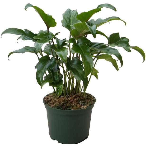 Evergrace Philodendron Xanadu Plant in 6 inch Grower Pot - Home Depot