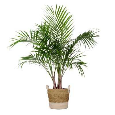 Majesty Palm Live Indoor Houseplant  In 10 Inch Beige And White Whicker Basket - Wayfair