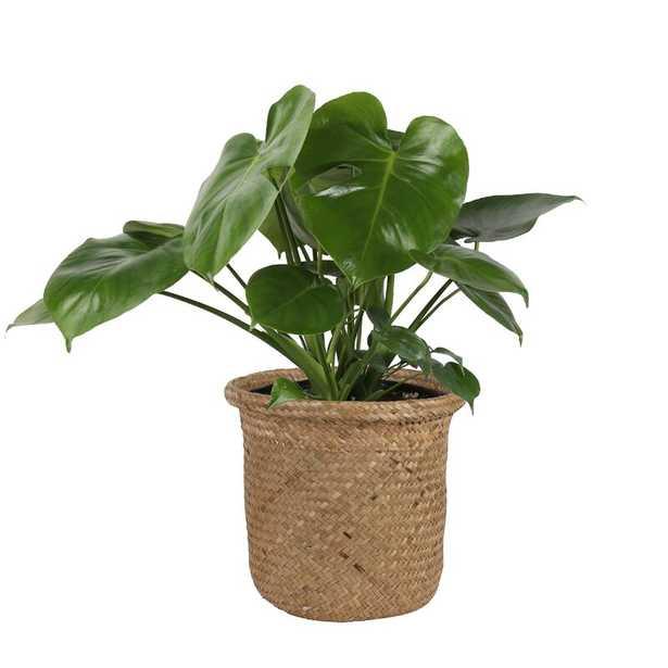 Monstera Deliciosa Plant in Basket - AllModern