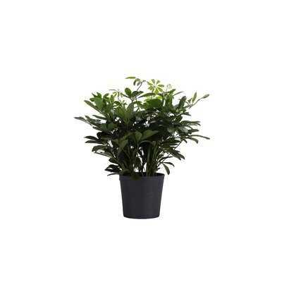 "20"" Live Arboricola Plant in Pot - Wayfair"