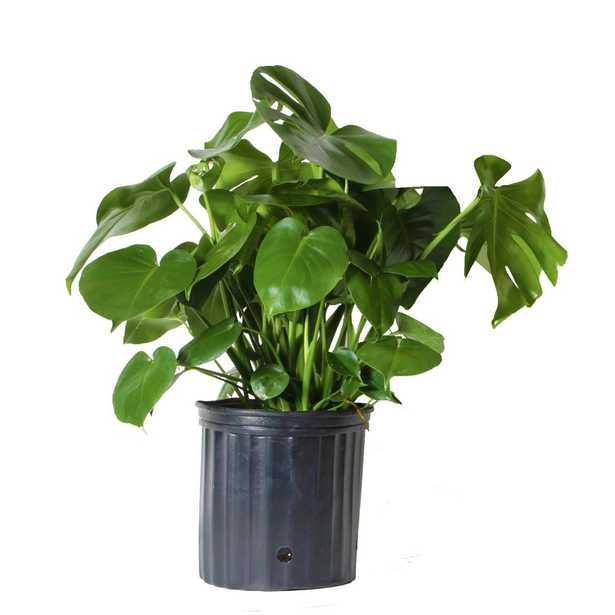 Costa Farms Monstera Plant in 10 in. Grower Pot - Home Depot