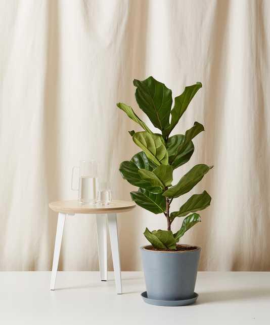 Fiddle Leaf Fig Column -  Slate - Bloomscape