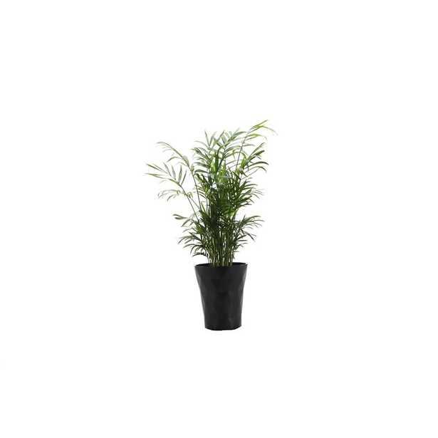 "Thorsen's Greenhouse 16"" Live Neantha Bella Palm Plant in Pot Base Color: Black - Perigold"