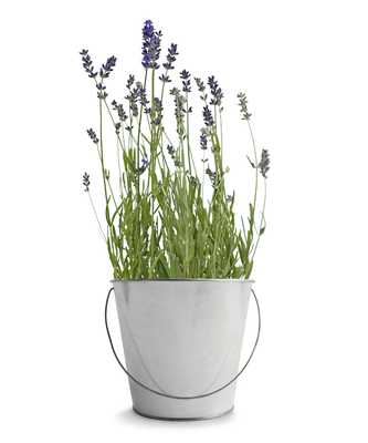 Garden in a Pail - Lavender - Bliss Home and Design