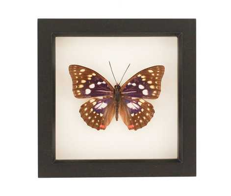 """Purple Japanese Emperor Butterfly Insect Box Display-  6"""" H x 6"""" W x 1¼ """" D- Black frame - Etsy"""