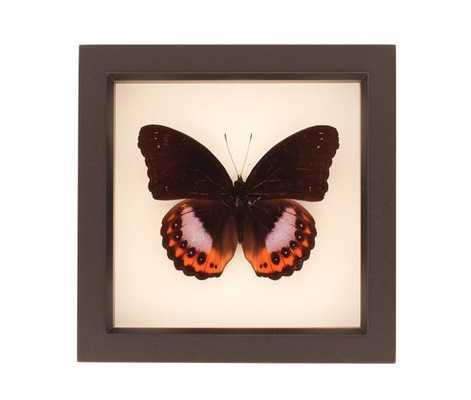 "Preserved Butterfly Display Hypolimnas pandarus Species Eggfly- 6"" H x 6"" W x 1 ¼ "" D.- Black - Etsy"