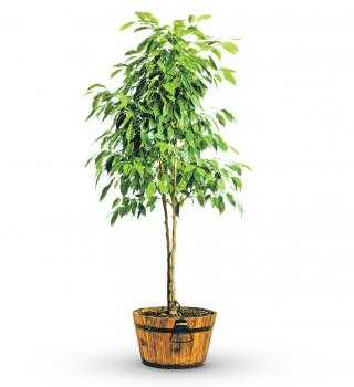 Green Potted Ficus Tree- Large - shop.avasflowers.com