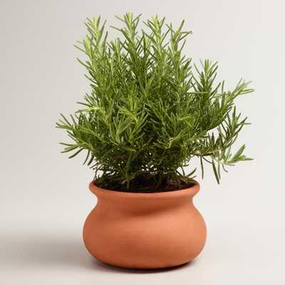 Live Rosemary Tree in Terracotta Pot - World Market/Cost Plus
