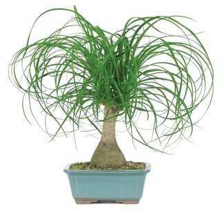 Ponytail Palm Bonsai, Live - One Kings Lane