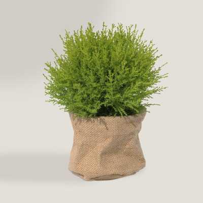 Live Lemon Cypress Globe in Burlap - World Market/Cost Plus