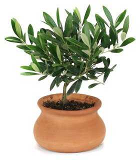 """10"""" Olive Tree in Washpot, Live - One Kings Lane"""