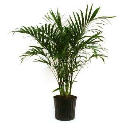 9-1/4 in. Cateracterum Palm in Pot - Home Depot