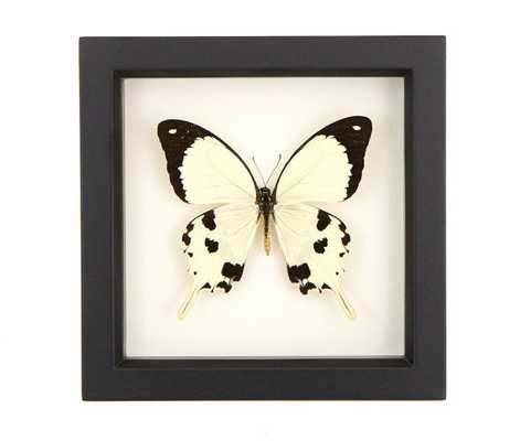 Framed Butterfly Mocker Swallowtail Yellow Insect Shadowbox- 6x6 inch- Black frame - Etsy