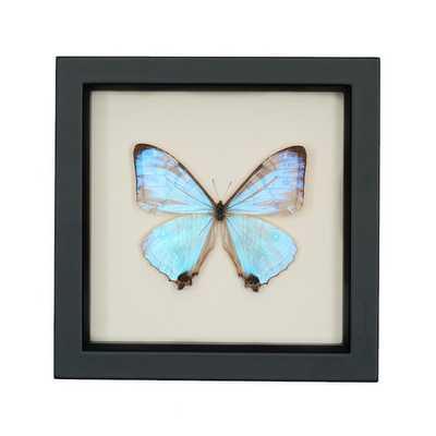 "Real Blue Morpho Pearl SULKOWSKI framed butterfly display- 6"" H x 6"" W x 1¼ "" D- Black frame - Etsy"