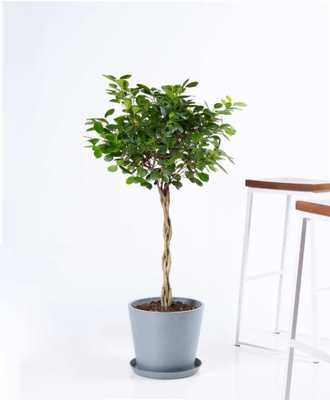 Ficus danielle - Slate - Bloomscape