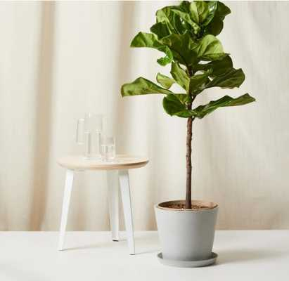 Fiddle Leaf Fig Slate Pot - Bloomscape