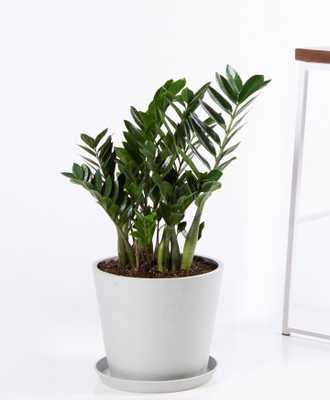 ZZ plant - Stone - Bloomscape