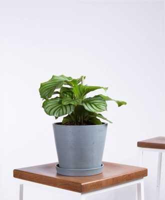 orbifolia plant - slate - Bloomscape