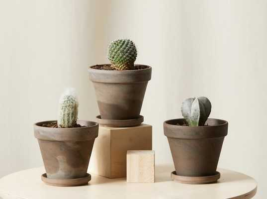 Sonoran Cacti Collection - Bloomscape