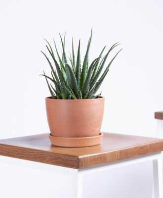 Hedgehog Aloe - clay - Bloomscape