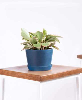 Peperomia ginny - Indigo - Bloomscape
