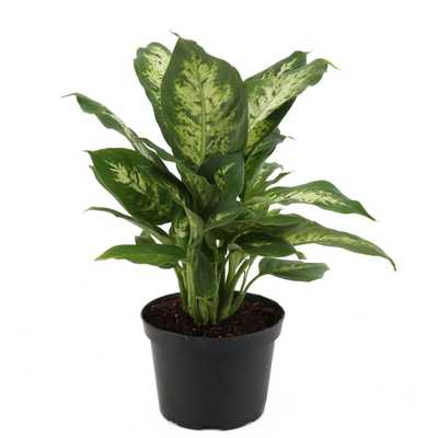Dieffenbachia Exotica in 6 in. Grower Pot - Home Depot