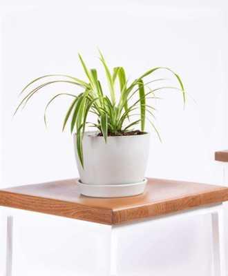 Spider plant - Stone - Bloomscape