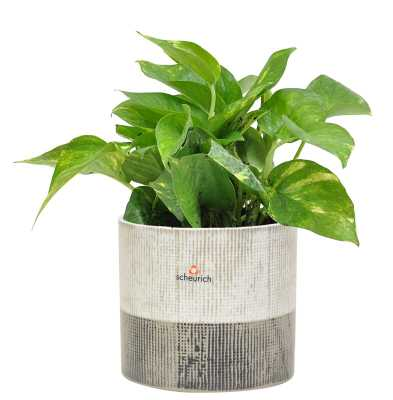 Costa Farms 16'' Live Ivy Plant in Planter - Perigold