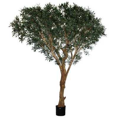 ITALIAN OLIVE TREE #1P167000 - Tisbury Vale