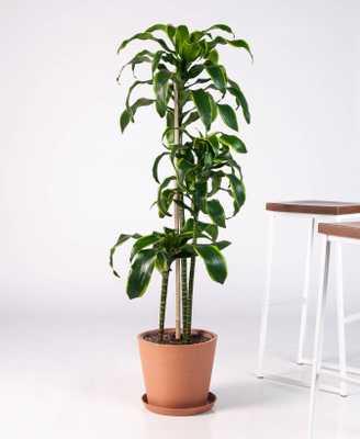 dracaena dorado - Bloomscape
