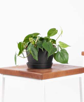 Philodendron Heartleaf - Charcoal - Bloomscape