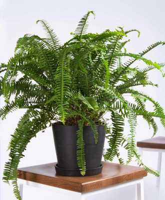 Kimberly queen fern - Charcoal - Bloomscape