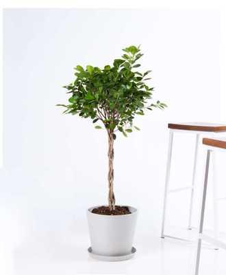 Ficus danielle - Stone - Bloomscape