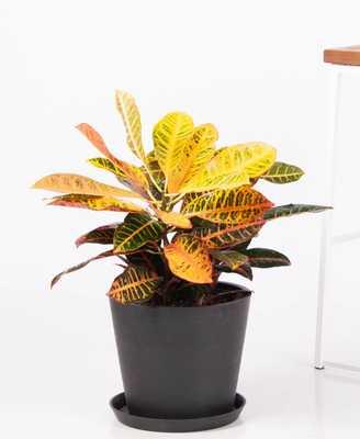 croton petra - Bloomscape