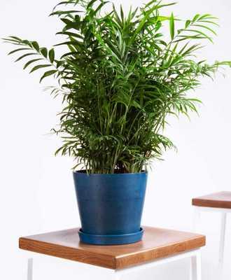 Parlor palm - Indigo - Bloomscape