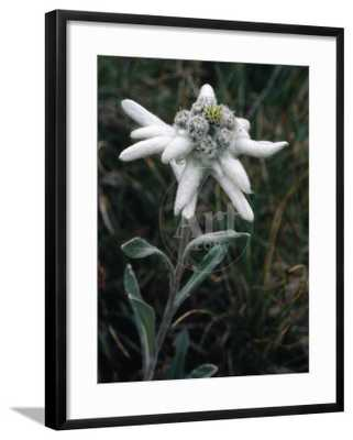 Edelweiss , Classic, Chelsea Black Frame - art.com
