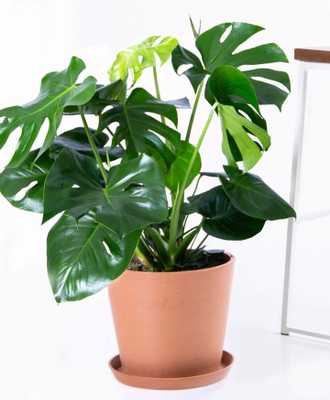 monstera with clay pot - Bloomscape