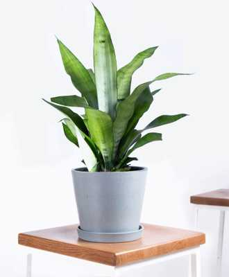Sansevieria Moonshine - Slate - Bloomscape