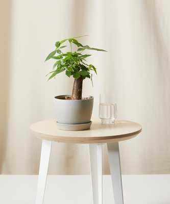 Mini Money Tree - Bloomscape