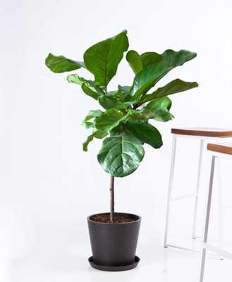 Fiddle leaf fig - - Bloomscape